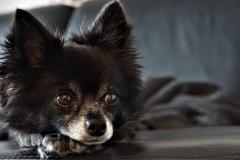 Chihuahua mit schwarzem Fell