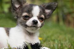 Junger Chihuahua in weiss braun grau