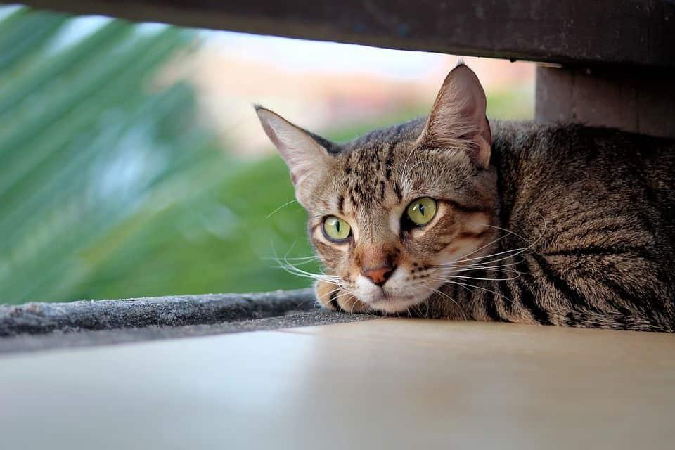 Gestreifte Katze (Tigermuster)