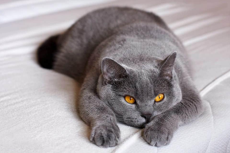 Britisch Kurzhaar Katze / British Shorthair