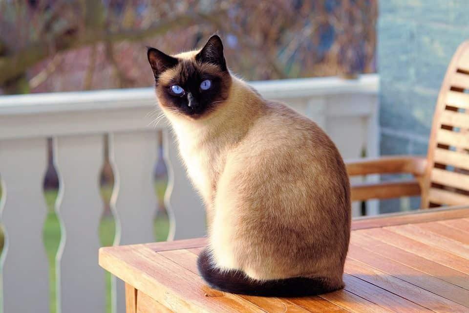 Beliebtesten Katzenrassen - Siam Katze