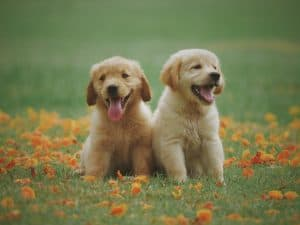 2 süße Golden Retriever Welpen