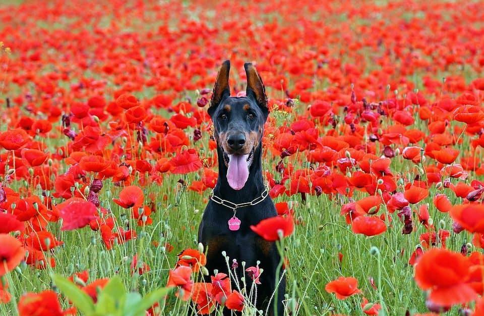Dobermann auf Blumenwiese