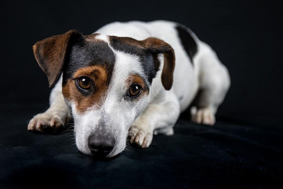 Jack Russell Terrier Der Mutige Beschutzer Tierisch Verliebt De