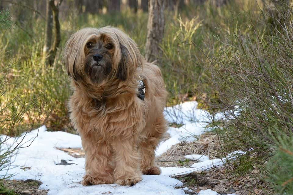 Tibet Terrier Tierisch Verliebt De